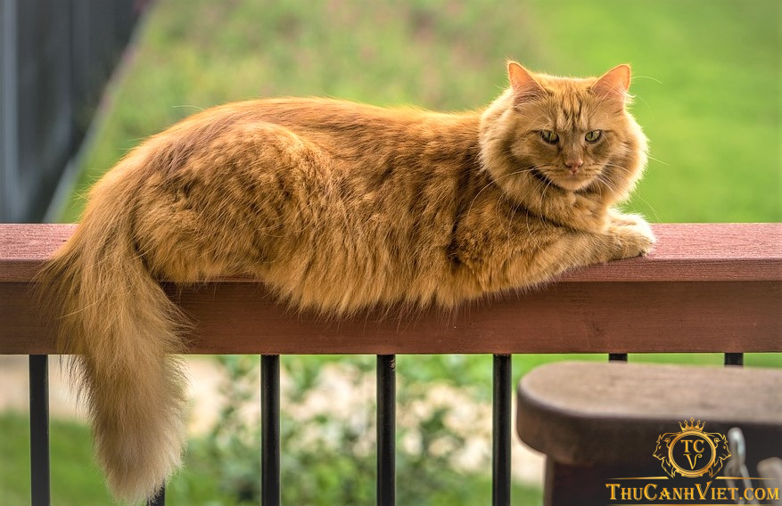 maine coon cat - meo my long dai